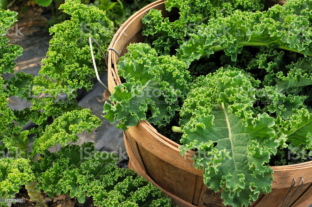 Harvested kale overflowing from a wooden basket stock photo