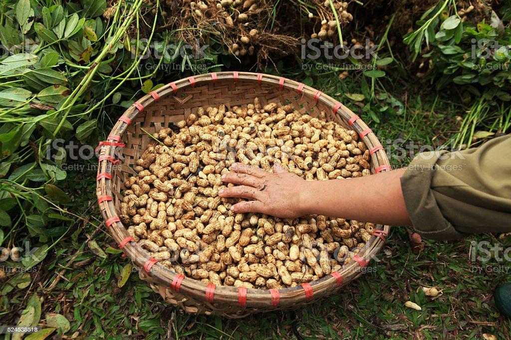 harvested peanuts stock photo