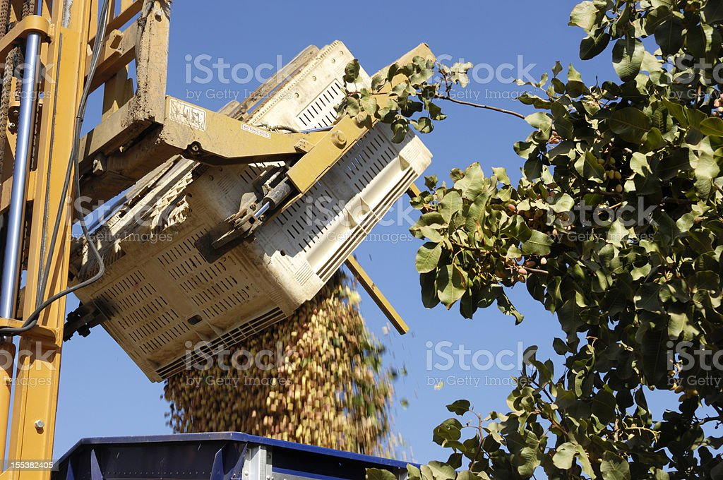 Harvested Pistachio Being Loaded Into Transfer Trailer stock photo