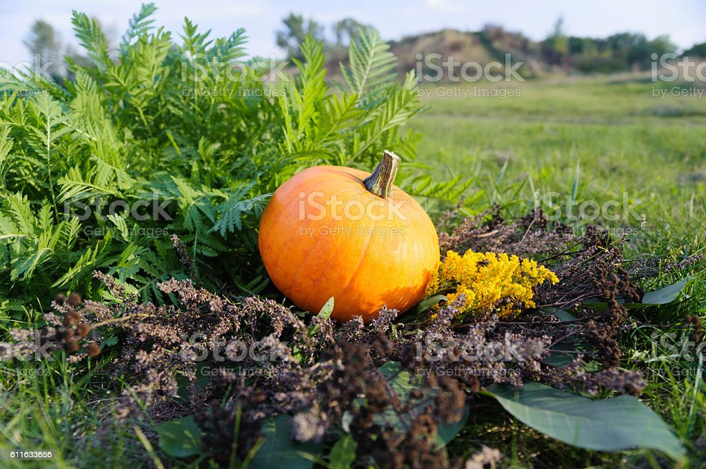 Harvested pumpkin on wreath of dry vegetation stock photo