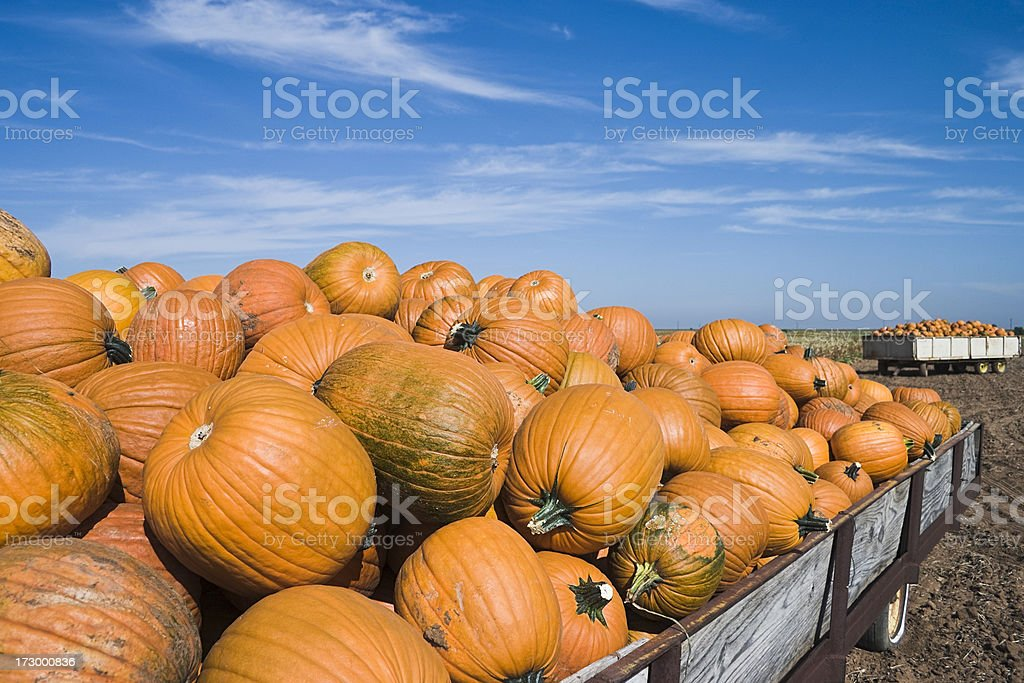 harvested pumpkins in wagon stock photo