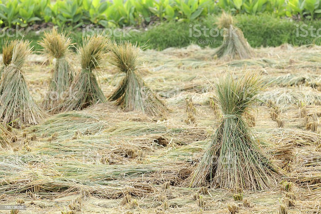 harvested rice field royalty-free stock photo