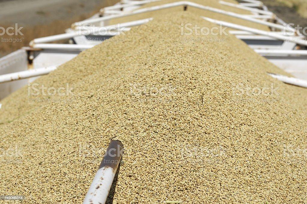 Harvested Rice in Transfer Trailer stock photo