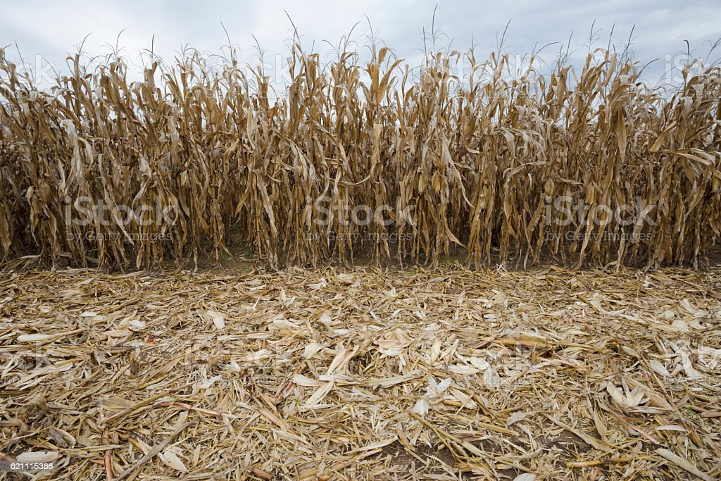 Harvested ripe yellow corn field in autumn stock photo