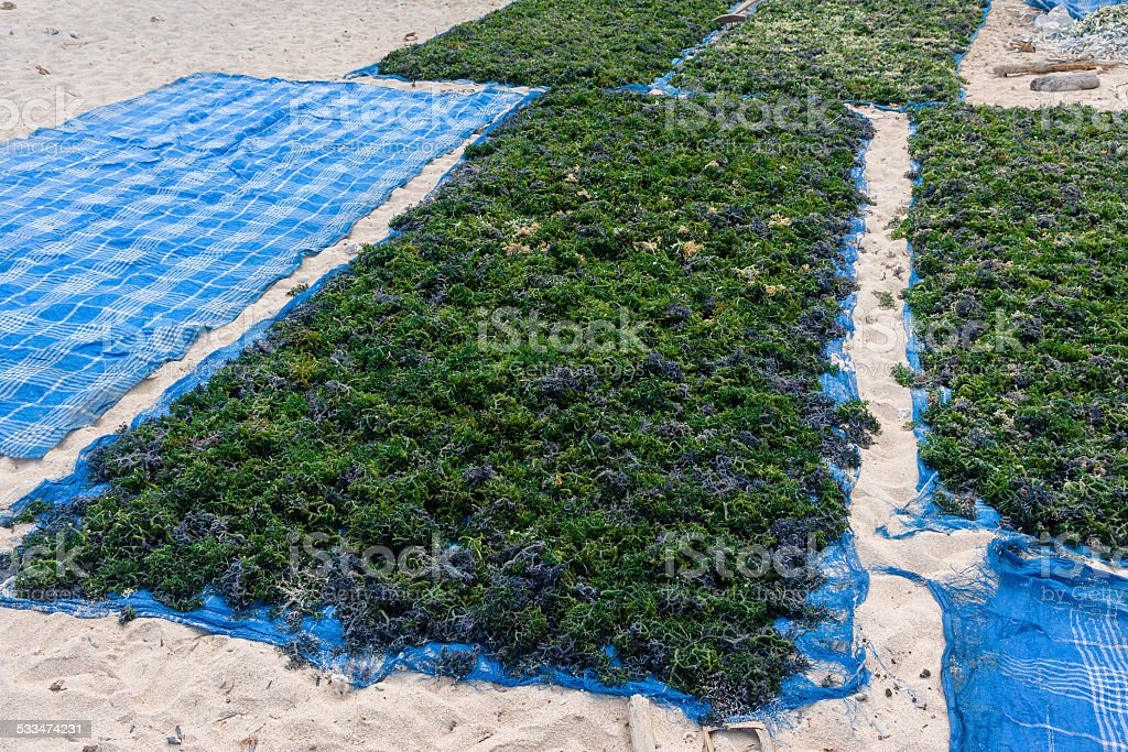 Harvested seaweed drying in Nusa Lembongan stock photo