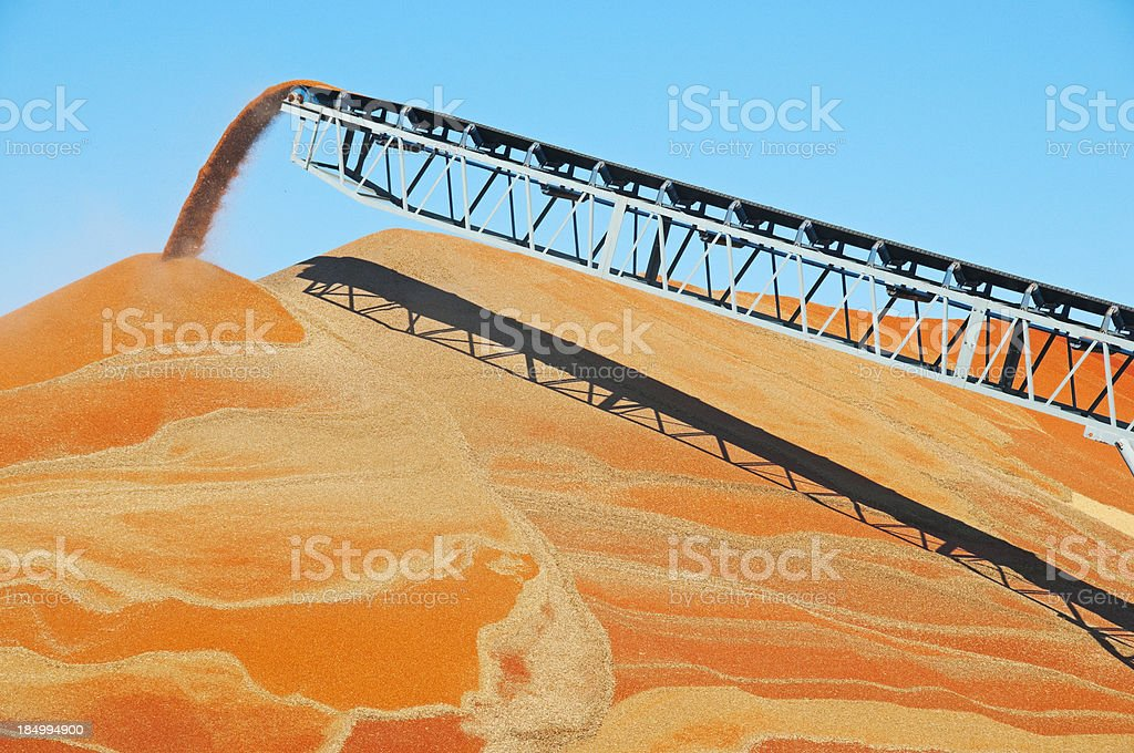 Harvested sorghum moving by conveyor belt onto pile royalty-free stock photo