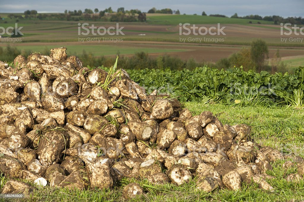 Harvested sugar beets in a rural agricultural landscape, souther stock photo
