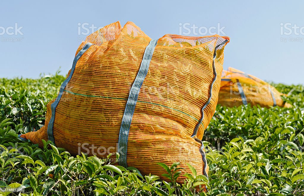 Harvested tea royalty-free stock photo