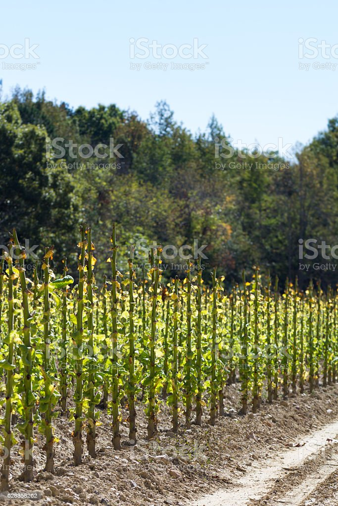Harvested tobacco field in the harsh sunshine stock photo