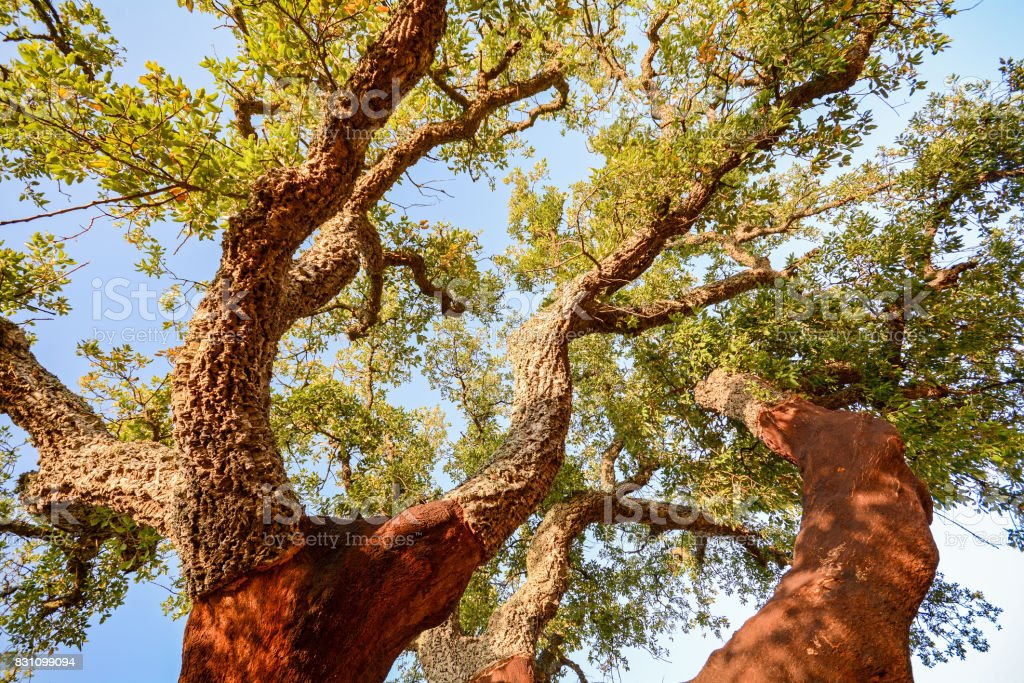 Harvested trunk of an old cork oak tree (Quercus suber) in evening sun, Alentejo Portugal Europe stock photo