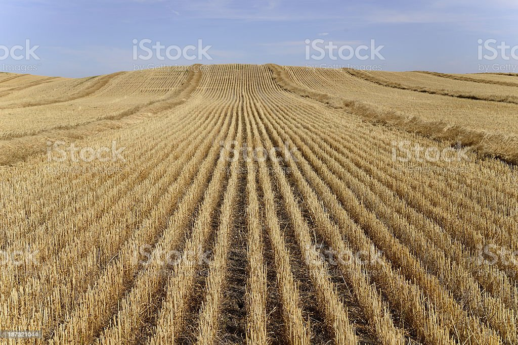 Harvested Wheat Field royalty-free stock photo