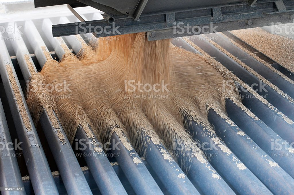 Harvested wheat kernels pouring through metal grate stock photo