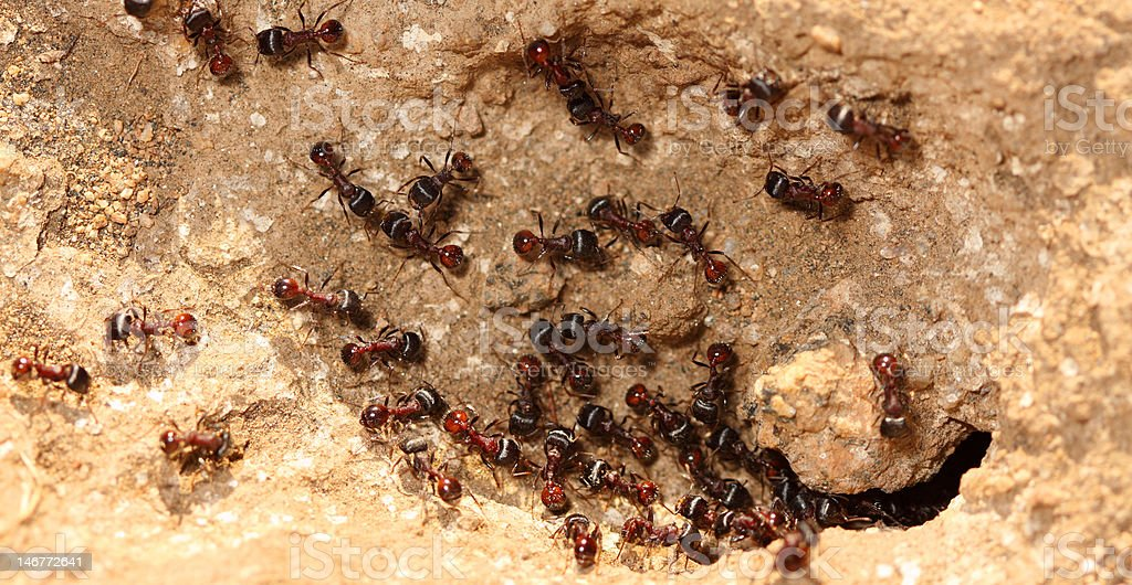 Harvester Ants royalty-free stock photo
