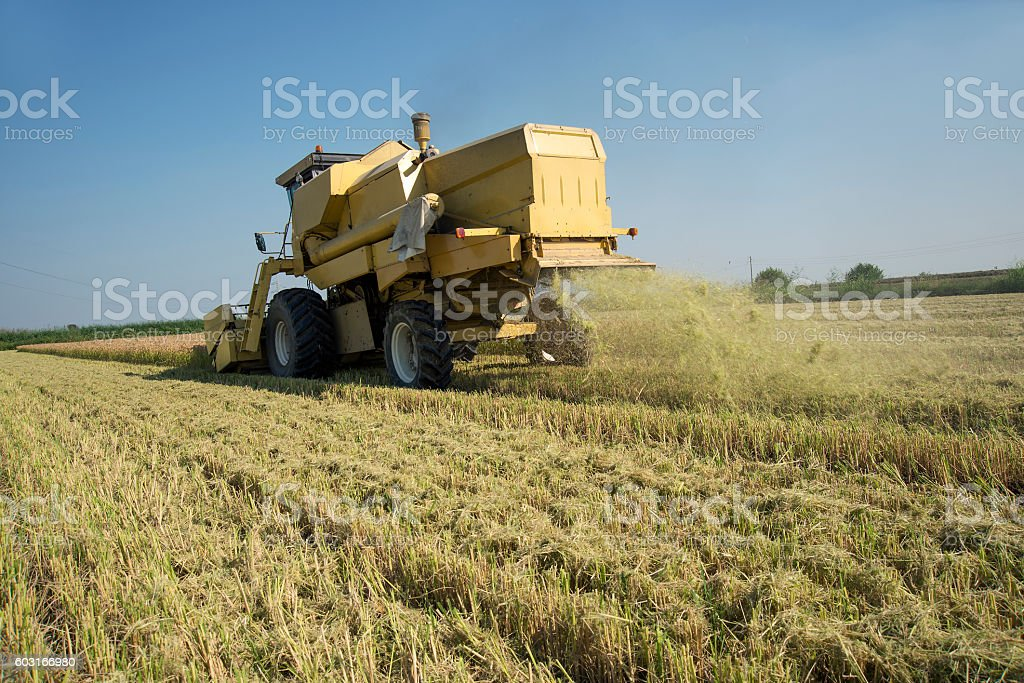 Harvesting and threshing rice in Italy stock photo