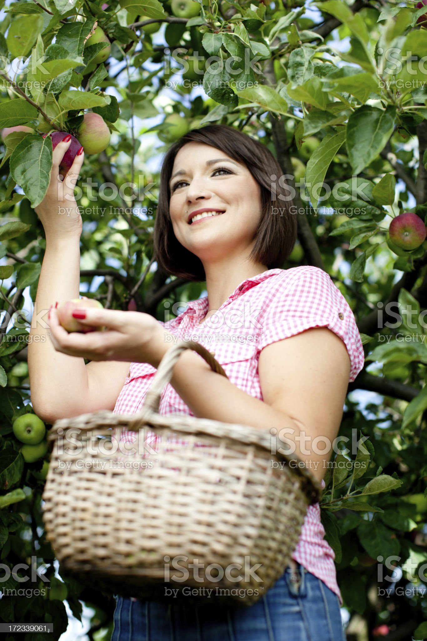 Harvesting apples royalty-free stock photo