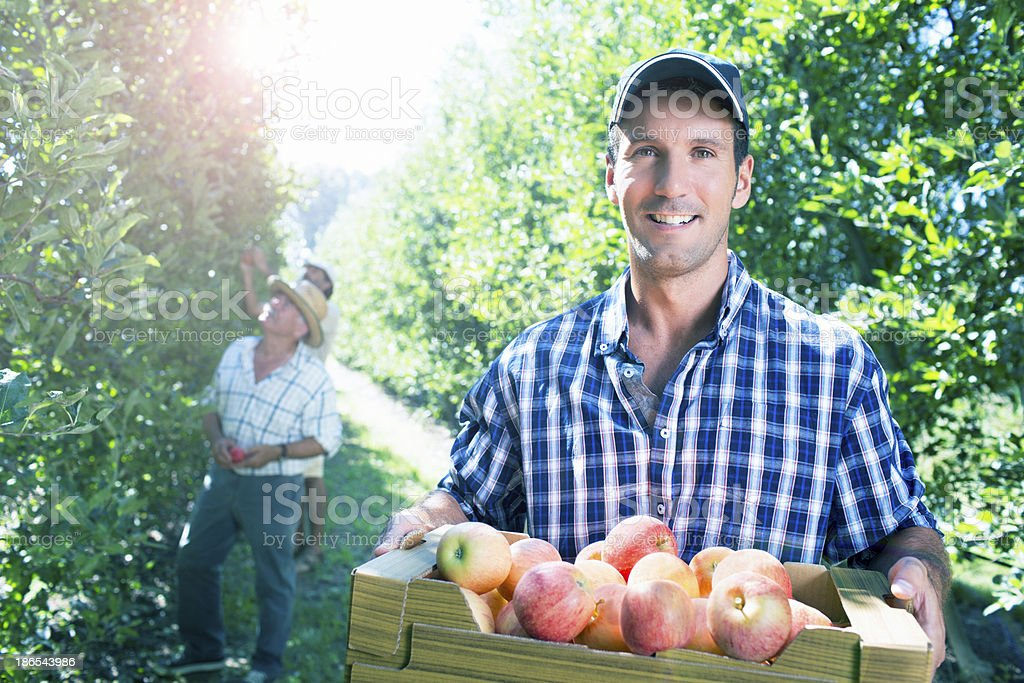 Harvesting apples stock photo
