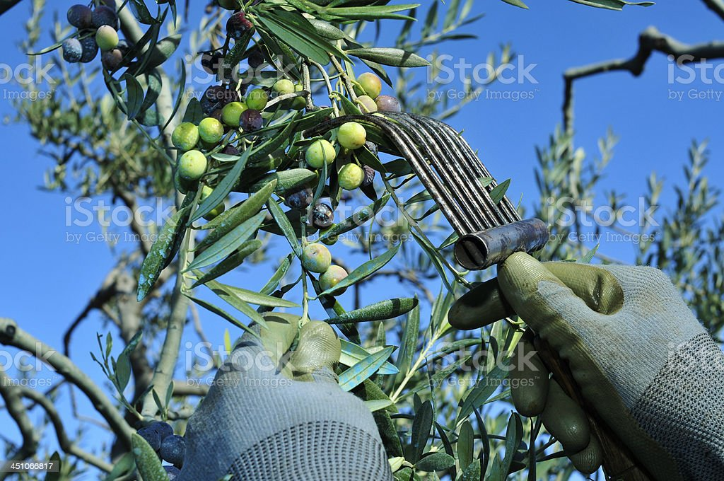 harvesting arbequina olives stock photo
