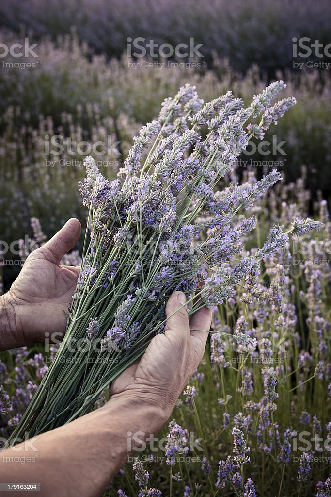 Harvesting blooming flowers of Lavender royalty-free stock photo