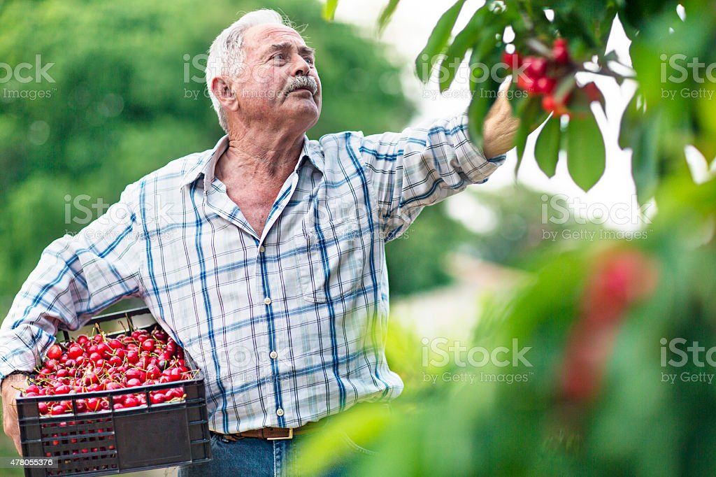 Harvesting cherries stock photo
