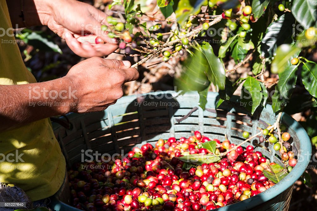 Harvesting Coffee Beans in Costa Rica stock photo