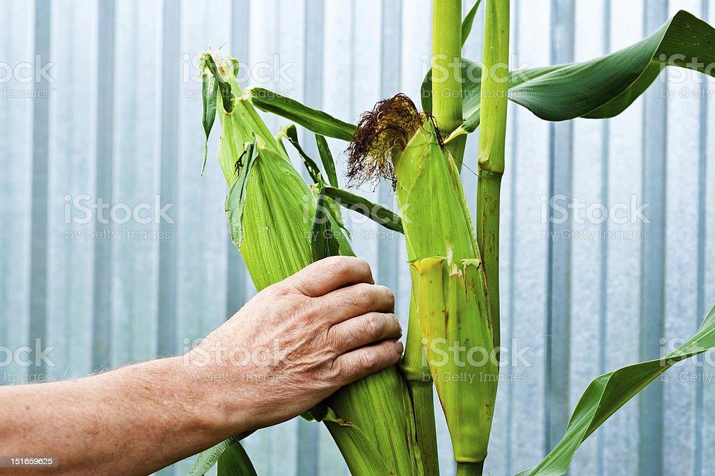 harvesting corn royalty-free stock photo