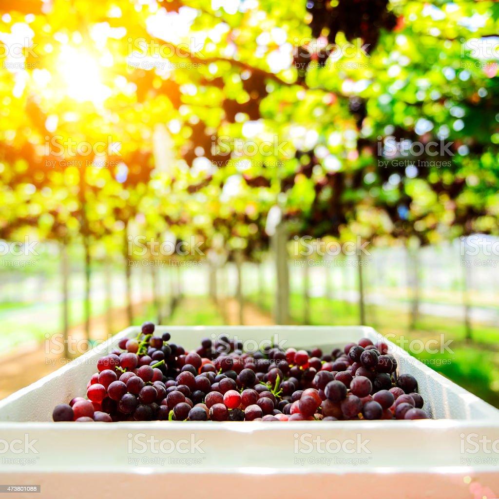 harvesting fresh grape from the farm Tak ,Thailand stock photo