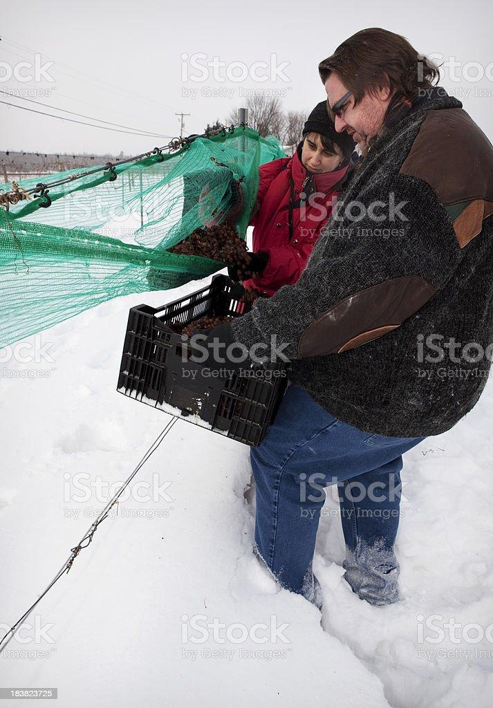 Harvesting frozen grapes stock photo