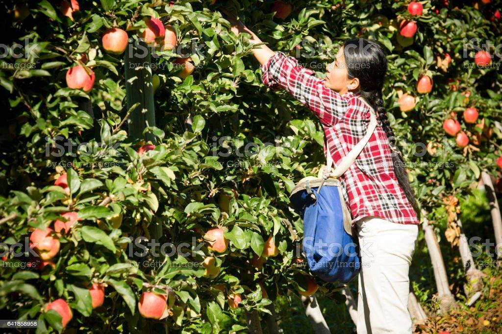 Harvesting Gala Apple Okanagan Valley Orchard stock photo