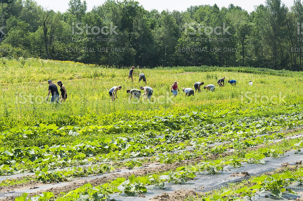 Harvesting garlic on a small family farm in Frelighsburg. stock photo