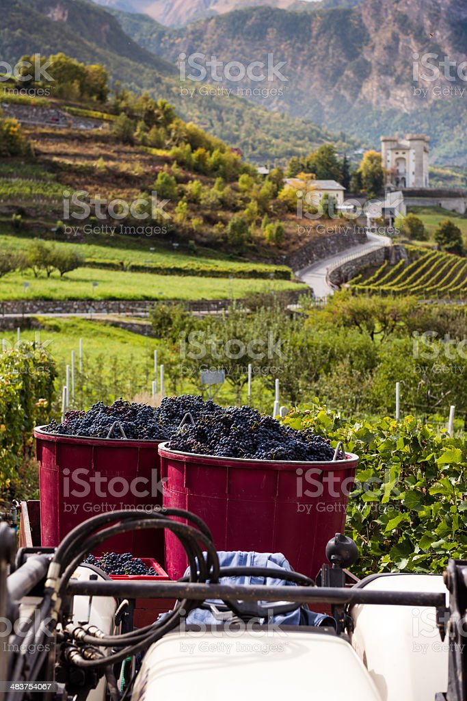 Harvesting Grape in Vineyard royalty-free stock photo