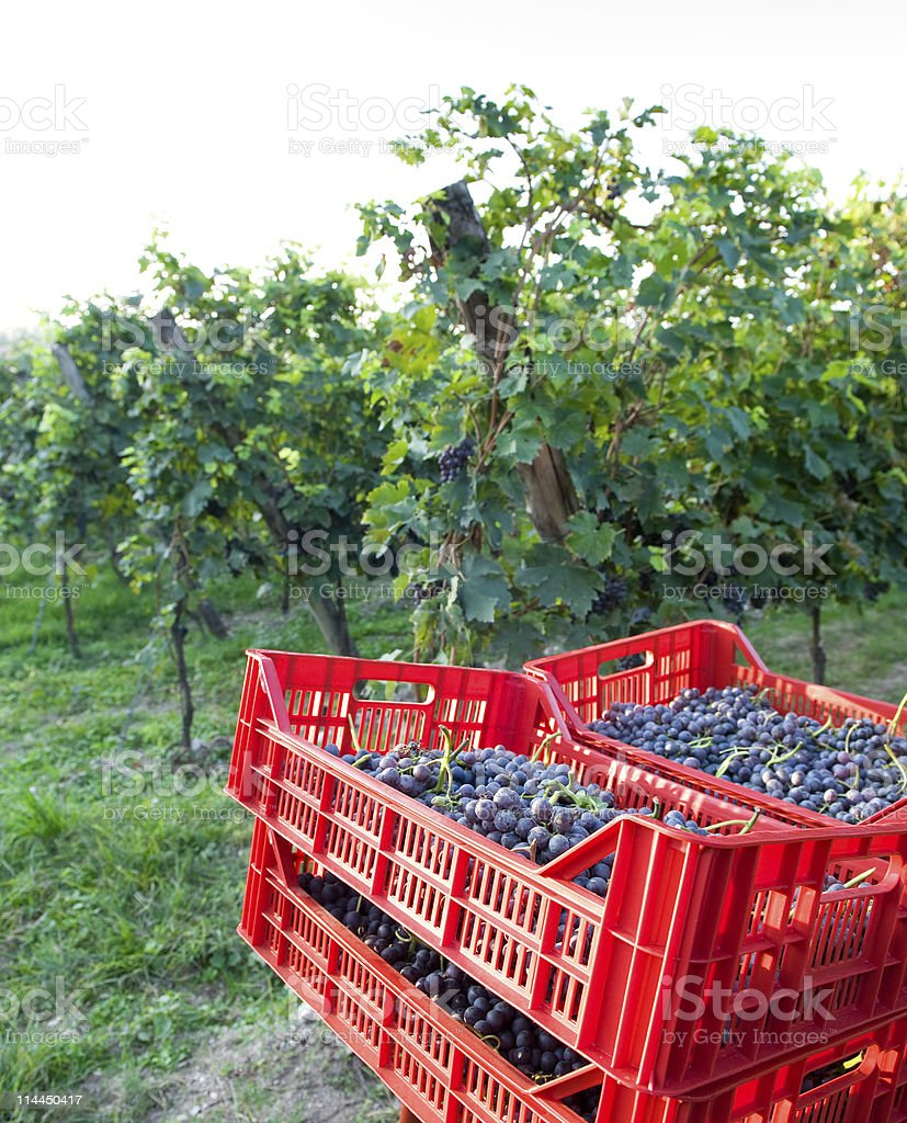 harvesting grape stock photo