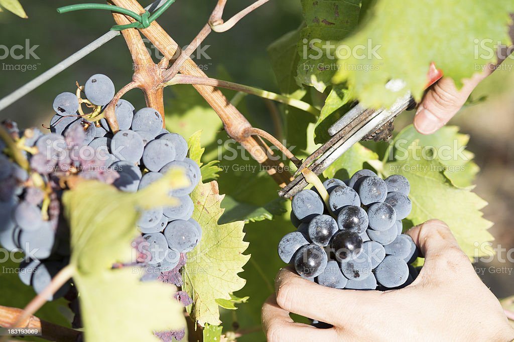harvesting grape royalty-free stock photo
