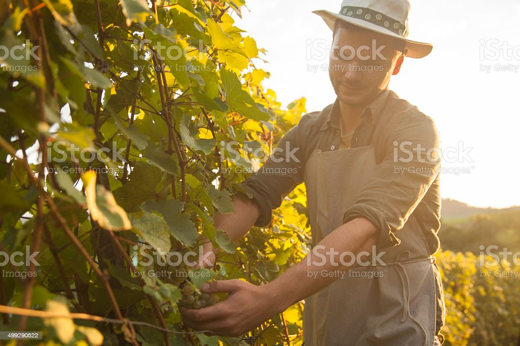 Harvesting grapes at dusk stock photo