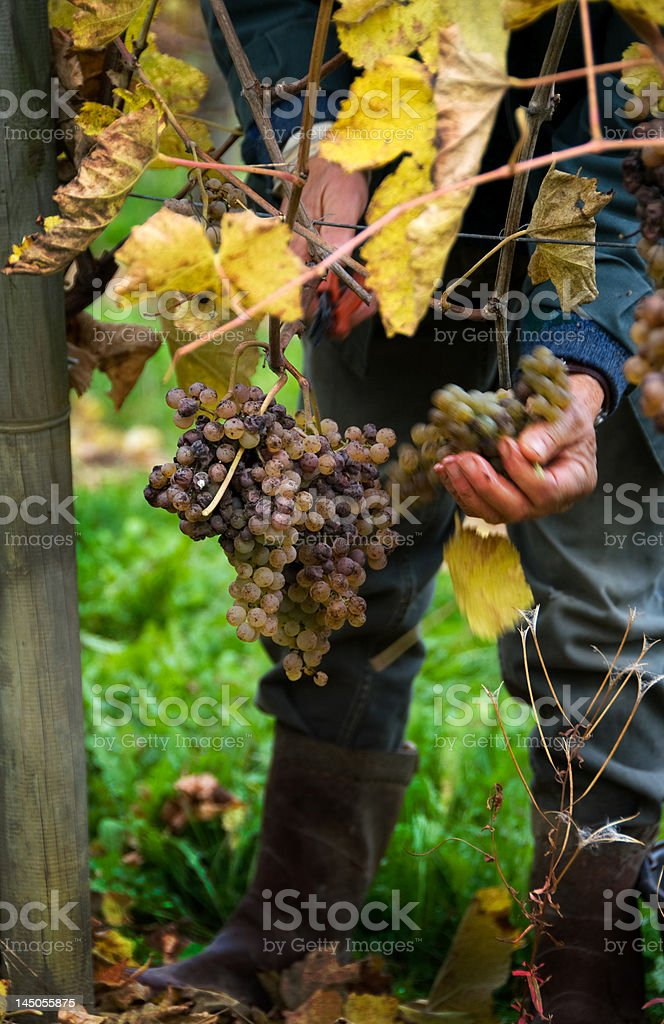 Harvesting Grapes for Wine royalty-free stock photo