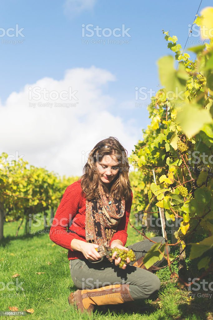 Harvesting grapes in wine production stock photo
