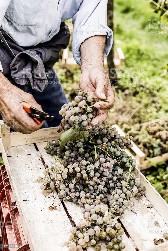 Harvesting Grapes royalty-free stock photo