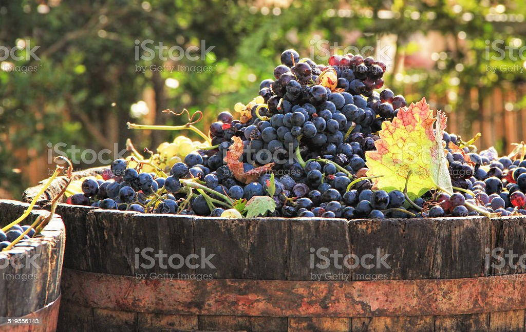 Harvesting grapes stock photo
