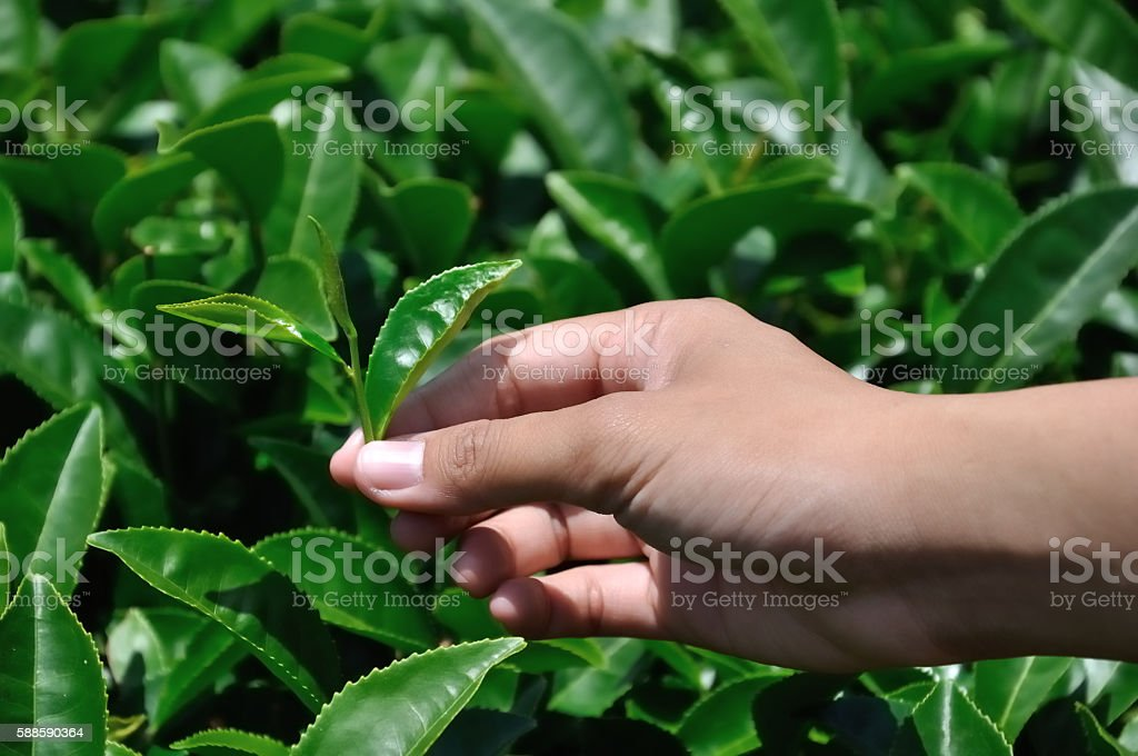 harvesting green tea leavese by hand in the field stock photo
