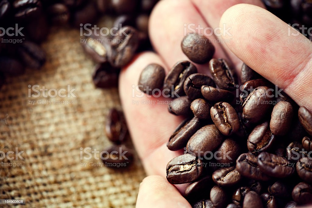 Harvesting Hand Holding Coffee Over Burlap royalty-free stock photo