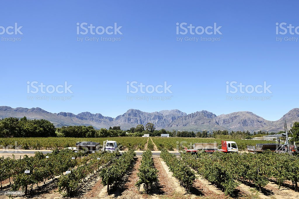 Harvesting in Cape winelands stock photo