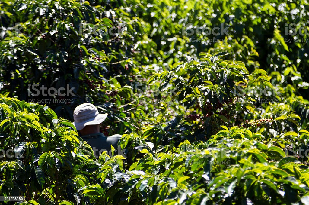 Harvesting in Coffee Plantation in Costa Rica stock photo