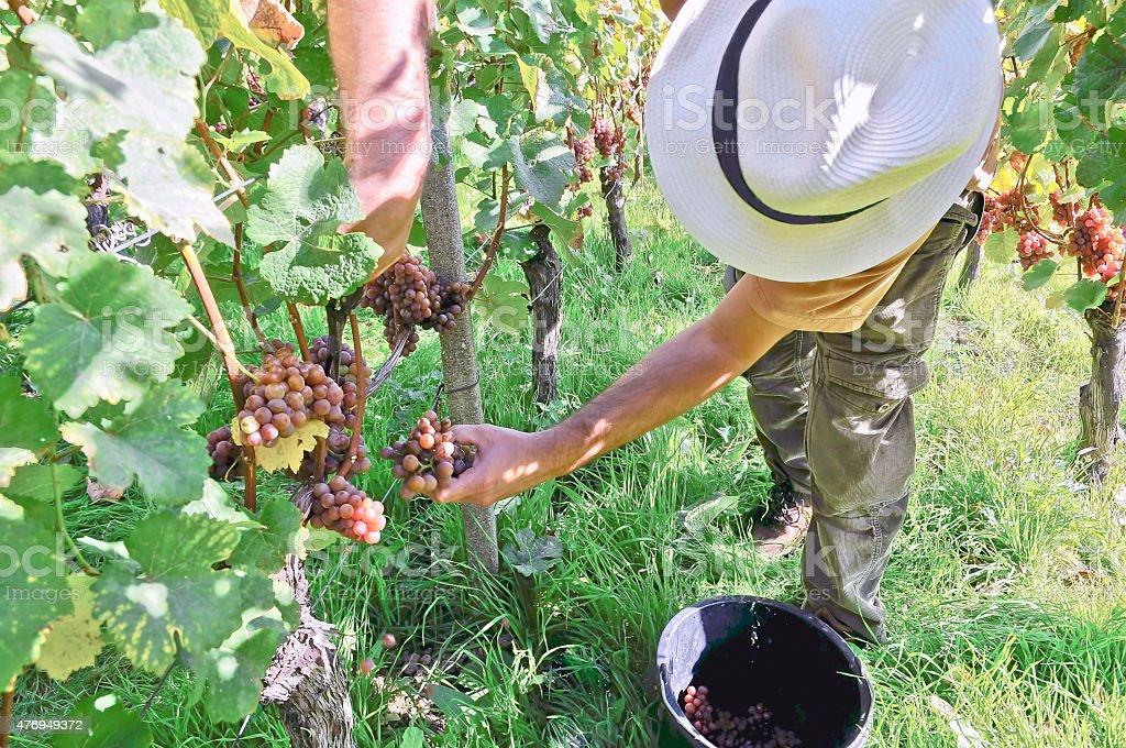 Harvesting in Dresden, Germany stock photo