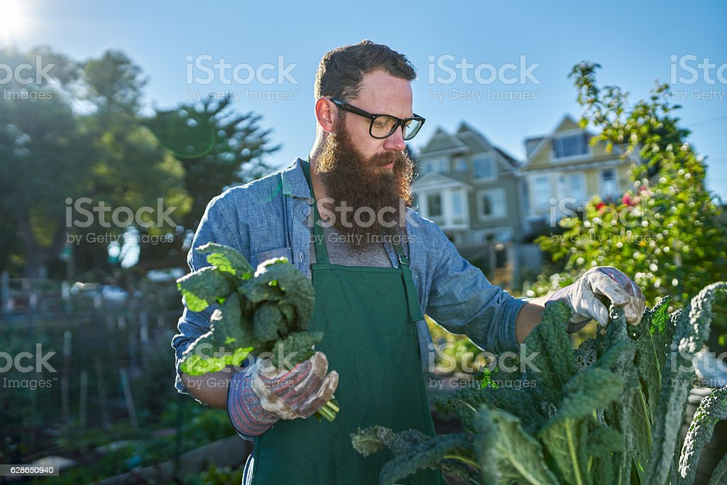 harvesting kale inside of urban communal garden stock photo