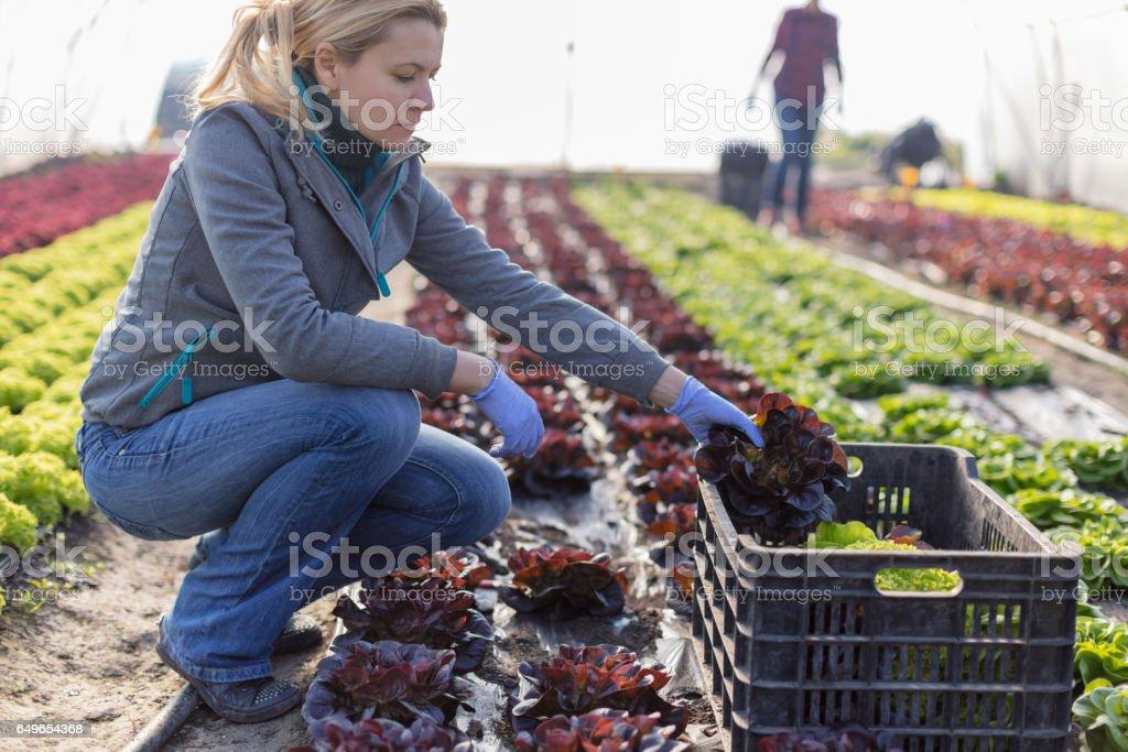 Harvesting lettuce in greenhouse stock photo