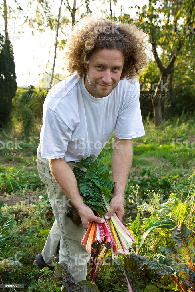 harvesting  mangold stock photo