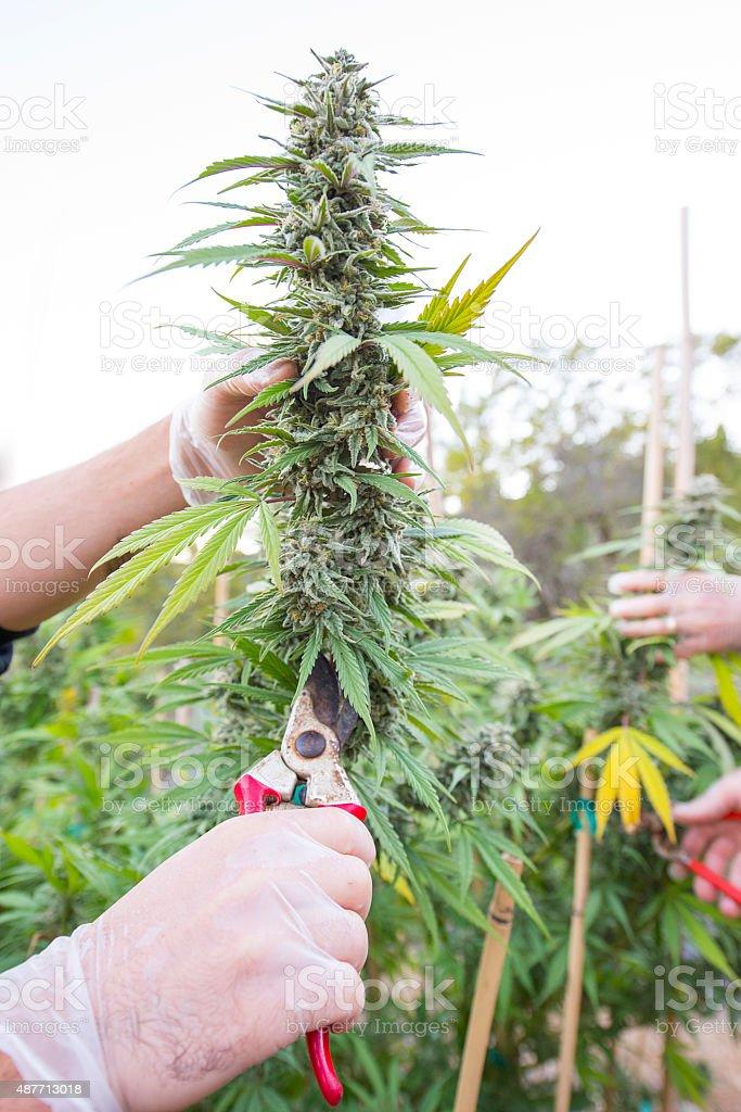 Harvesting marijuana by hand stock photo