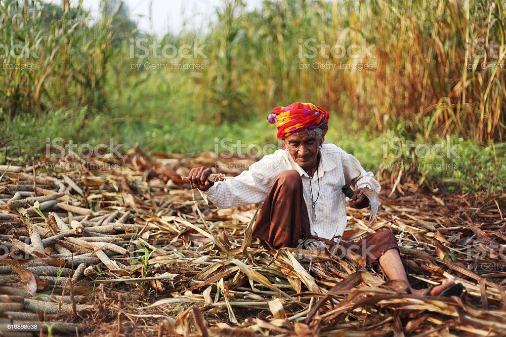 Harvesting Millet Crop stock photo