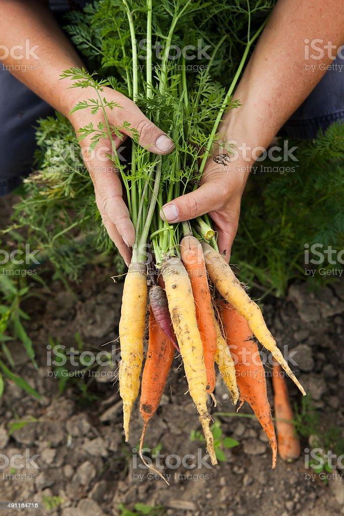Harvesting Multicolored Heirloom Carrots stock photo