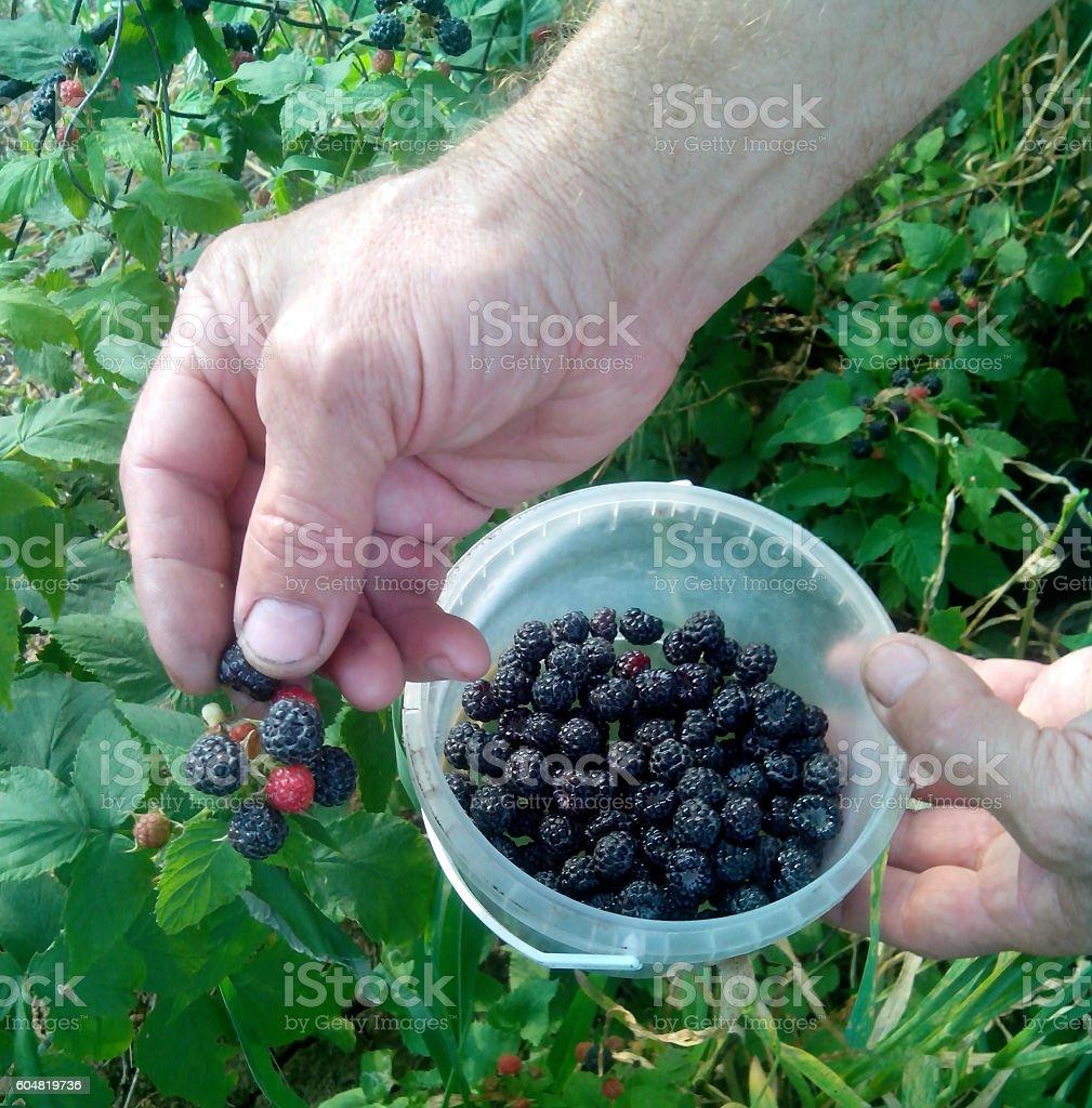 Harvesting of blackberry. stock photo