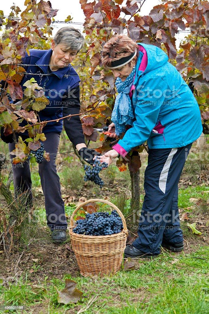Harvesting of grapes in vineyard stock photo